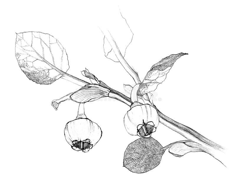 Blueberriies op tak royalty-vrije stock fotografie