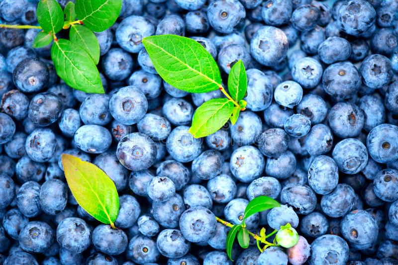 Blueberry background. Ripe and juicy fresh picked blueberries backdrop, closeup. Organic Blueberries. Blueberry background. Ripe and juicy fresh picked royalty free stock photo