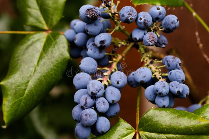 Blueberry, Berry, Fruit, Bilberry royalty free stock photo