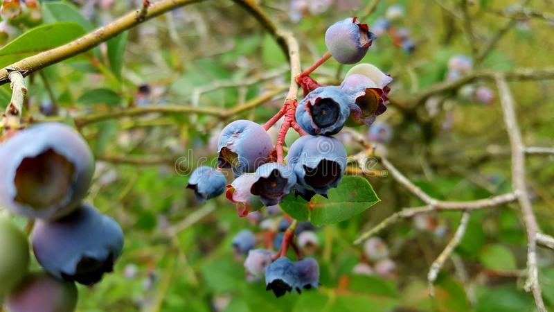 Blueberry, Berry, Plant, Bilberry royalty free stock photography