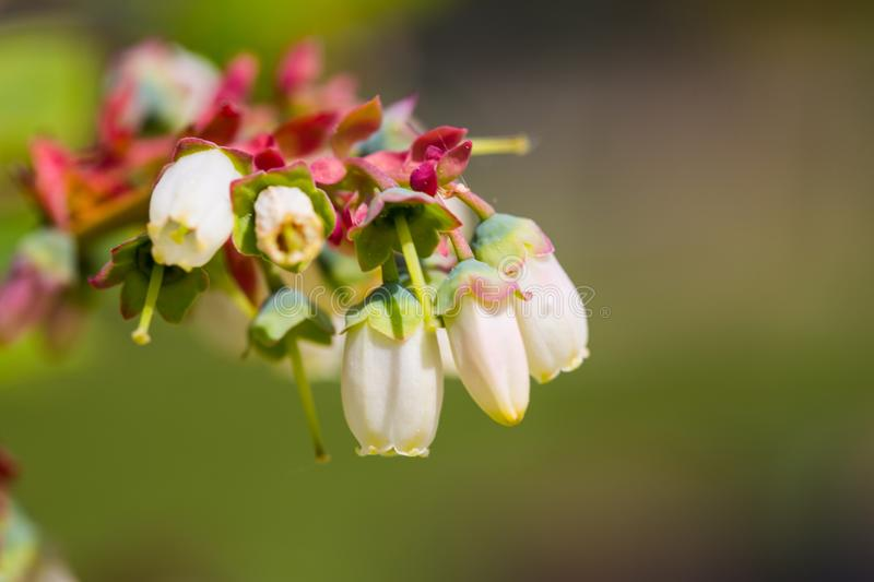 Blueberry blossom on the branch, royalty free stock photo