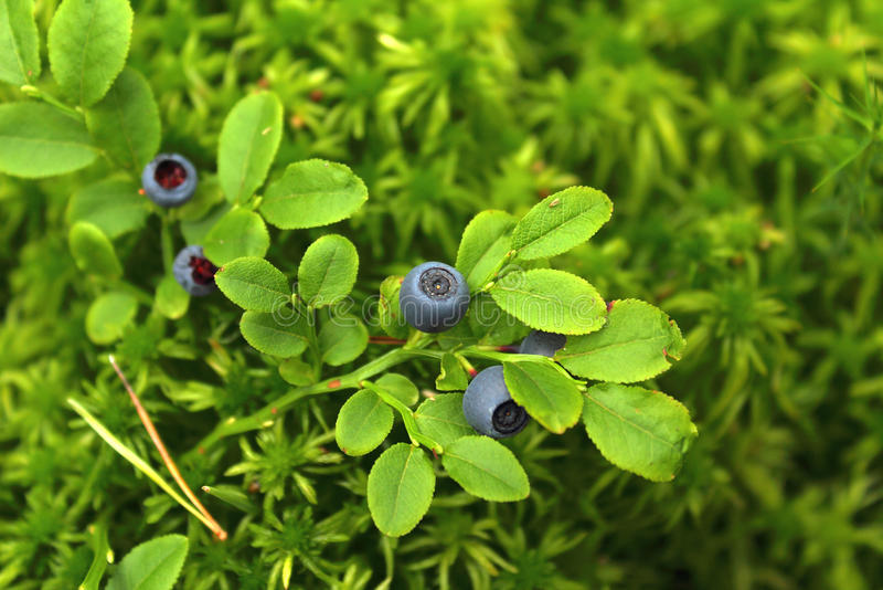Blueberry royalty free stock images