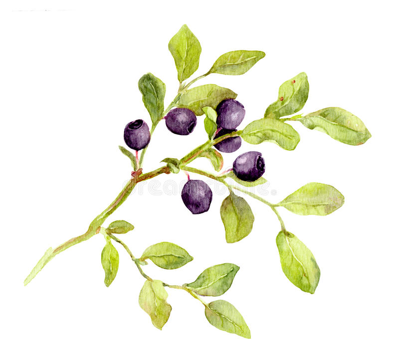 Blueberry branch with leaves and berries. Watercolor royalty free illustration