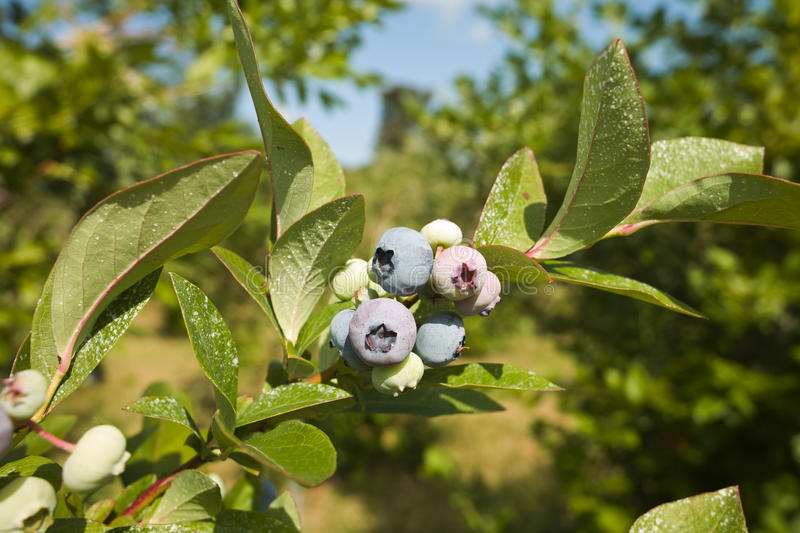 Download Blueberry Bunch stock image. Image of ripe, field, food - 10194427