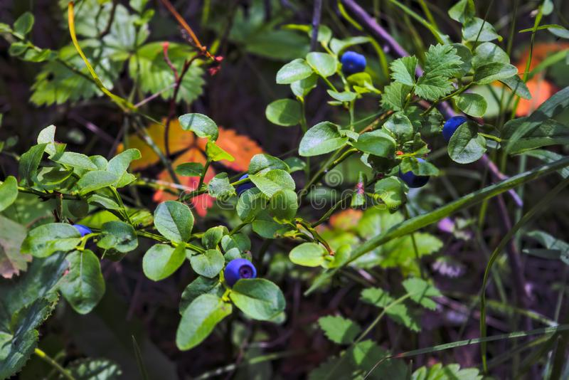 Blueberry bushes with ripe berries on a blurred background. Blueberry bush with cluster of berries stock images