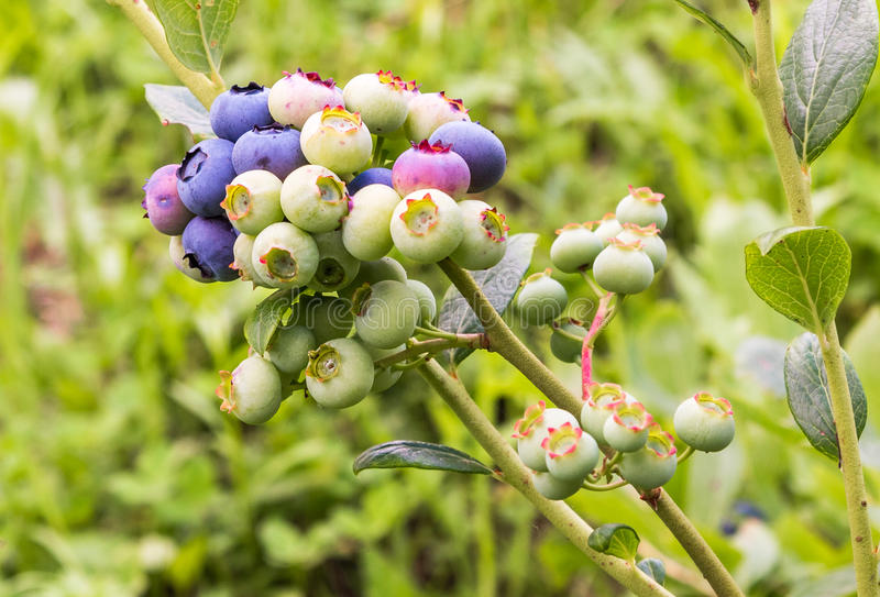 Blueberry cluster on a blueberry bush.  royalty free stock photos