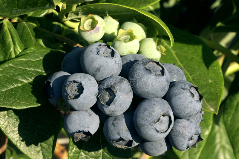 Blueberry cluster on branch royalty free stock photography