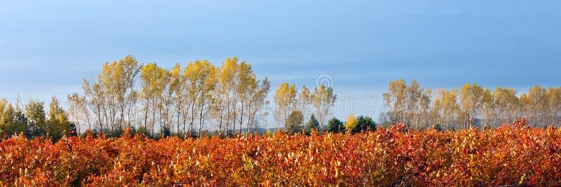 Blueberry farm field in autumn royalty free stock photo