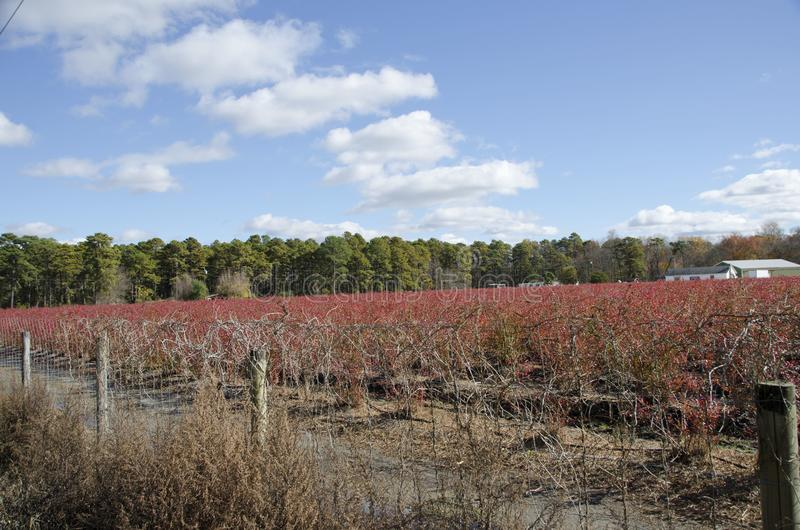 Blueberry Field royalty free stock photo