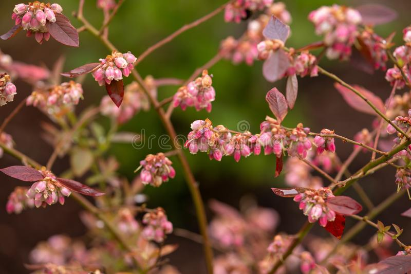 Blueberry Flowers on bush in early summer garden.  royalty free stock photo