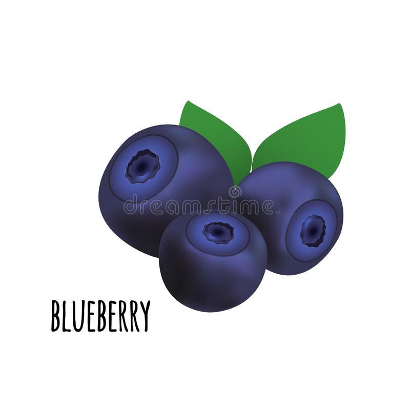 Blueberry forest berry. Vector illustration. vector illustration