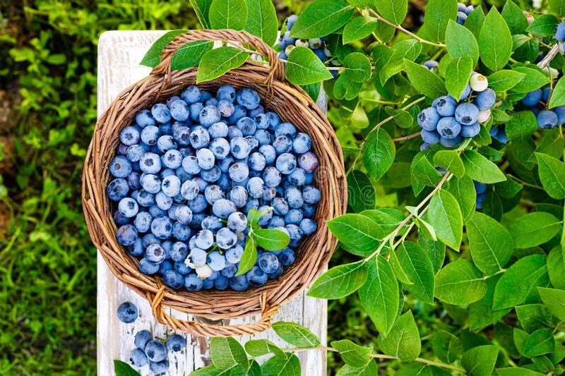 Blueberry. Fresh berries with leaves on branch in a garden. Harvesting blueberry stock photos