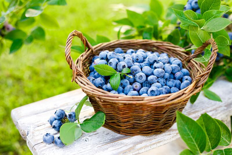 Blueberry. Fresh berries with leaves on branch in a garden. Harvesting blueberry stock photography
