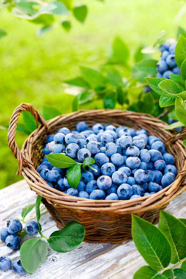 Blueberry. Fresh berries with leaves on branch in a garden. Harvesting blueberry royalty free stock photos