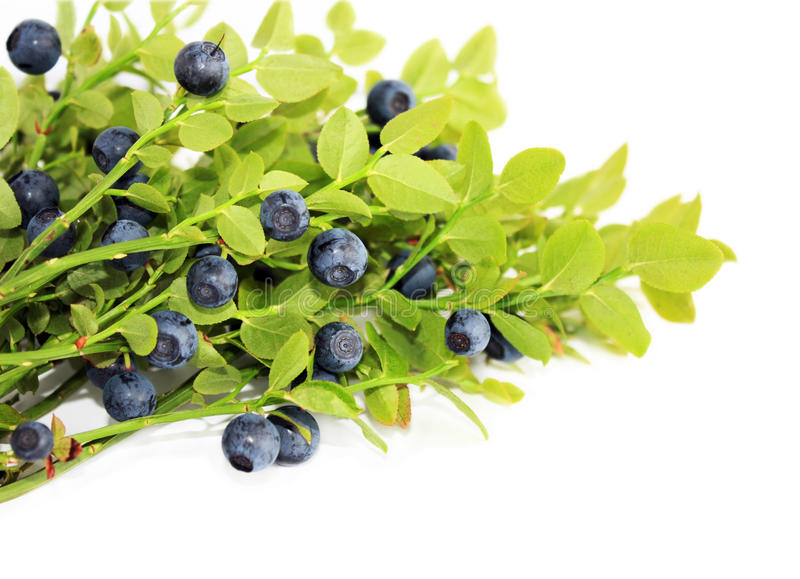 Blueberry. Fresh blueberry bush with ripe berries close up stock photo