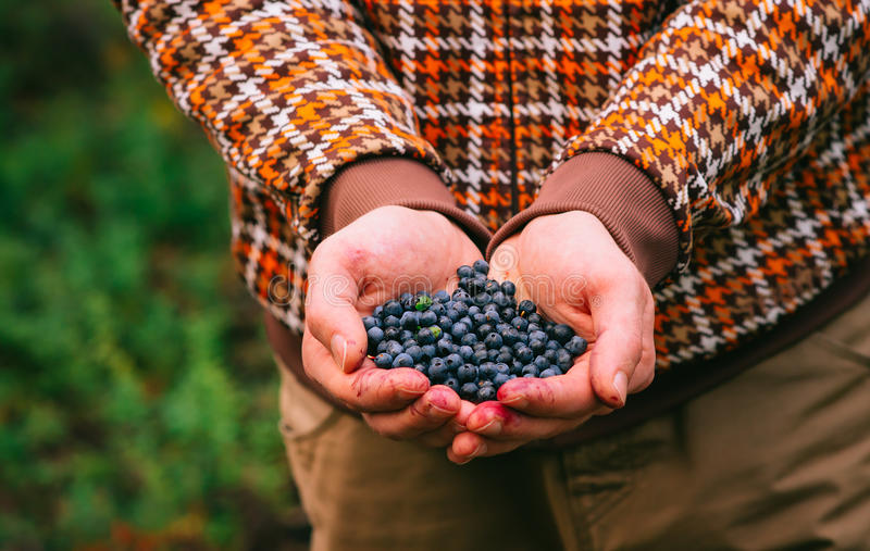 Blueberry fresh picked organic berries food in man hands. Healthy Lifestyle northern forest recreation stock photo