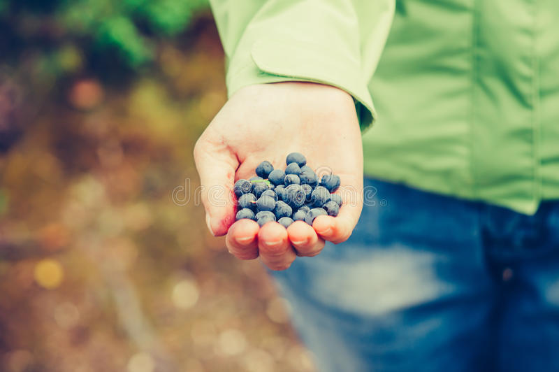 Blueberry fresh picked organic food in woman hand. Giving Healthy Lifestyle northern forest recreation royalty free stock photos