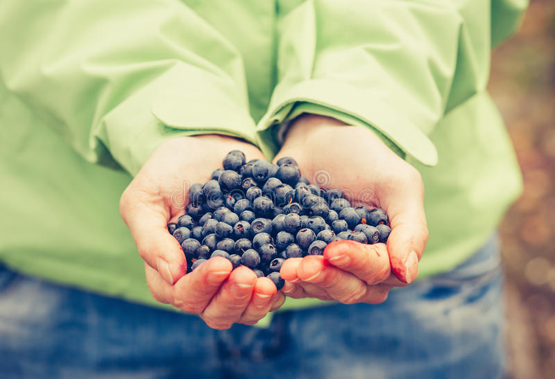 Blueberry fresh picked organic food in woman hands. Giving Healthy Lifestyle northern forest recreation royalty free stock image