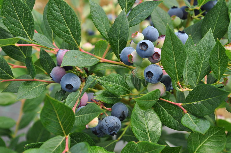 Blueberry fruit closeup on a branch with green leaves stock image