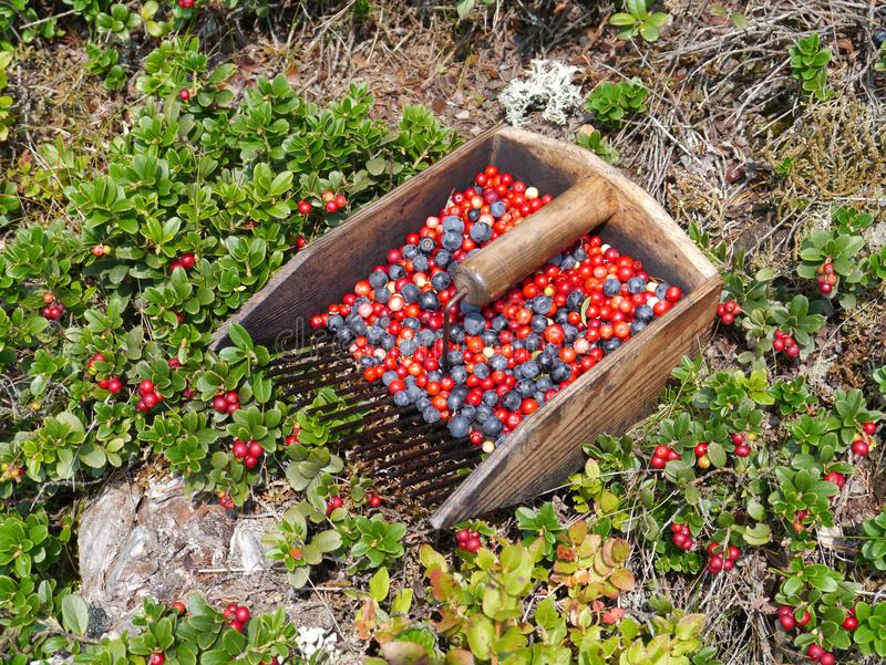 Blueberry and lingonberry harvest and bushes. Ripe blueberry and red lingonberry harvest and bushes on woodground royalty free stock image