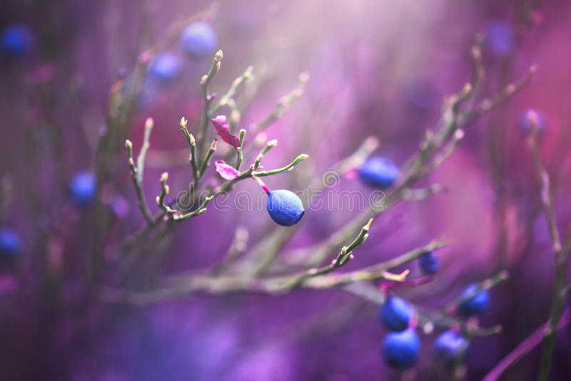 Blueberry nature background. Juicy and fresh wildberry royalty free stock photo