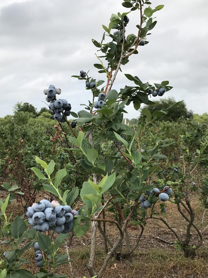 Blueberry picking stock images