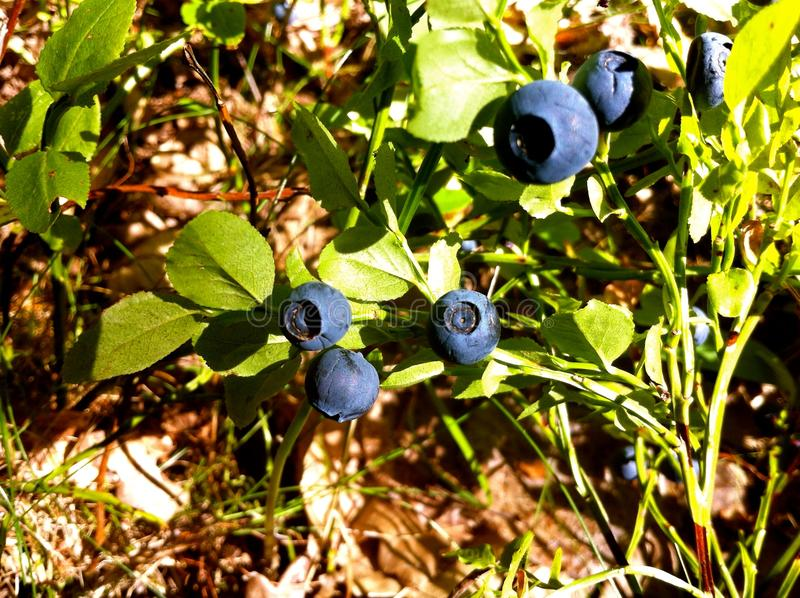 Blueberry plant royalty free stock photos