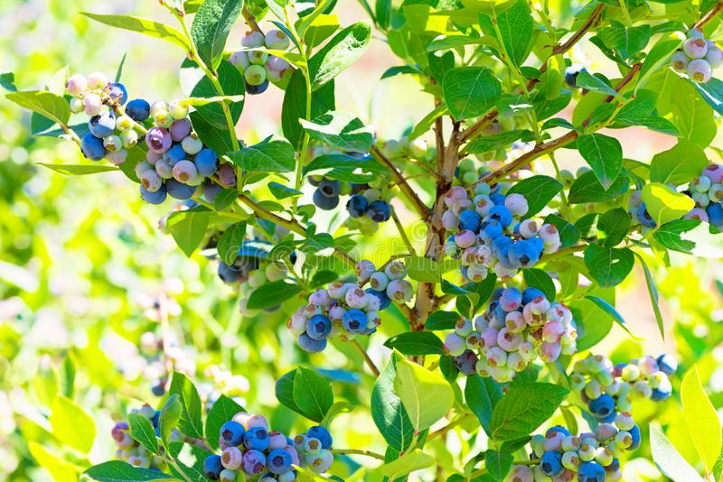 Blueberry plant with berries closeup stock photography