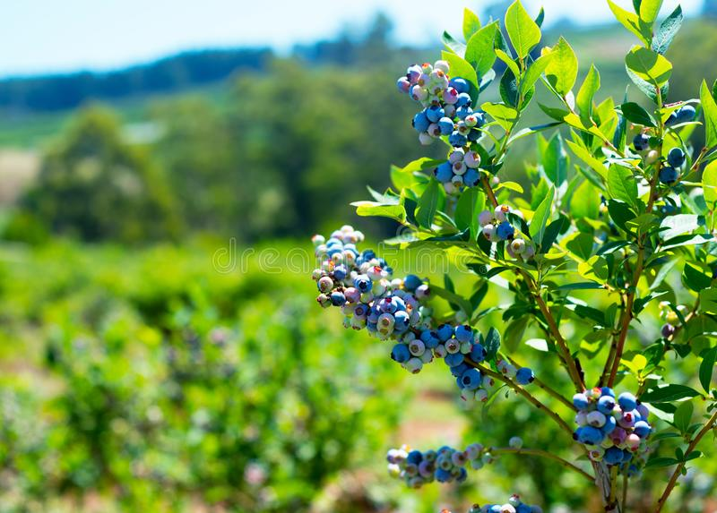 Blueberry plant closeup with a room for text stock photo