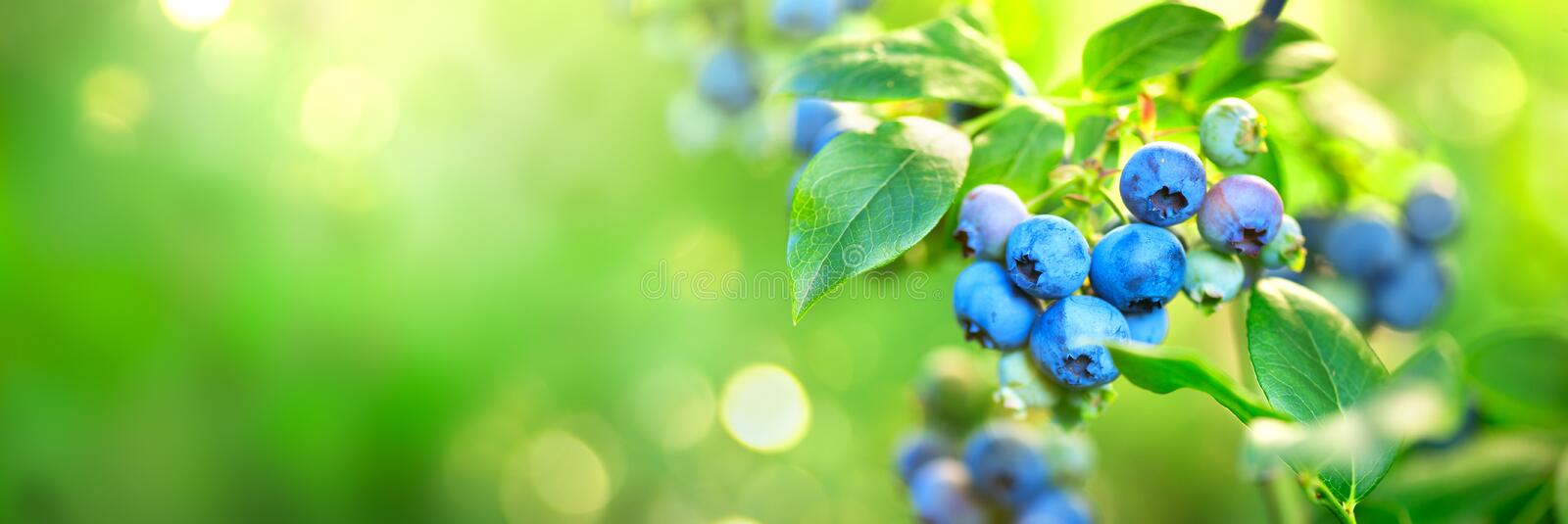 Blueberry plant. Fresh and ripe organic Blueberries growing in a garden. Healthy food. Agriculture. Wide screen stock photography