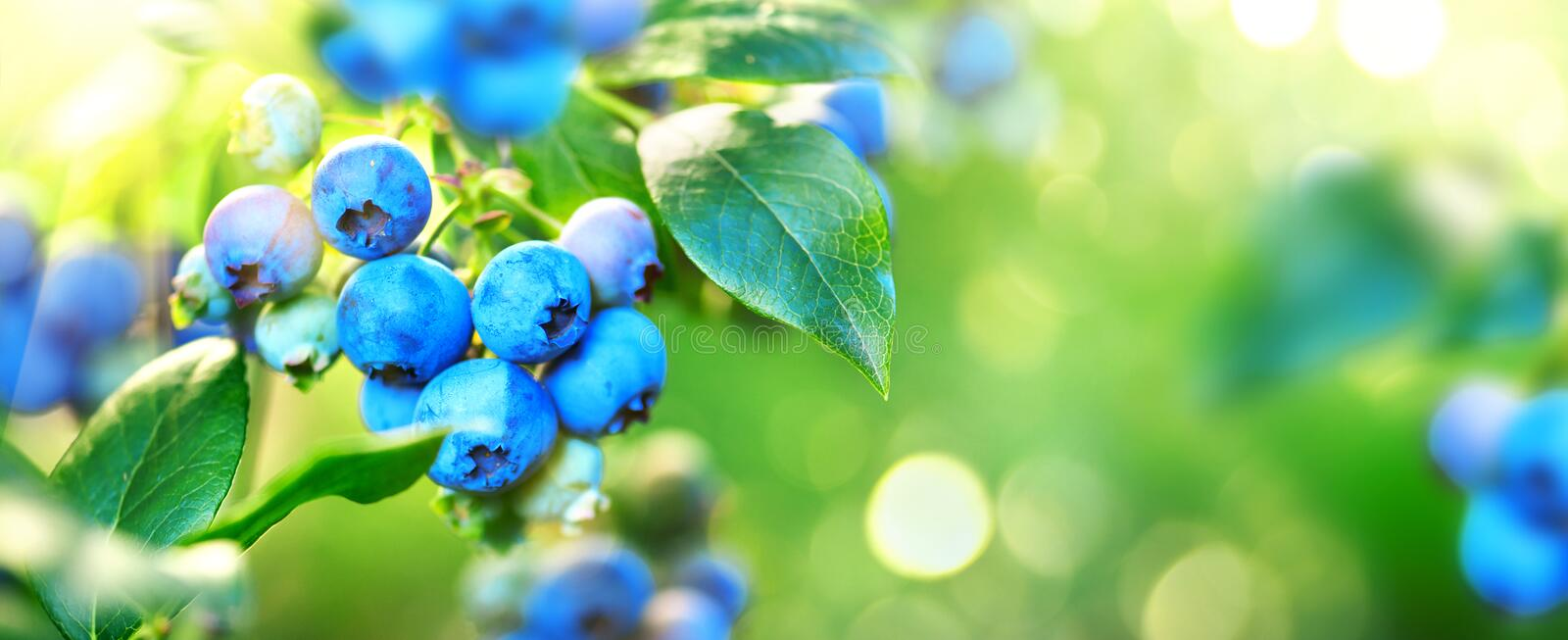 Blueberry plant. Fresh and ripe organic Blueberries growing in a garden. Healthy food. Agriculture. Wide screen royalty free stock photography