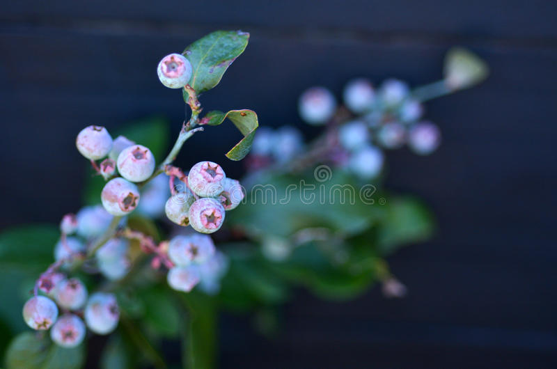Blueberry plant. Grow in the garden. copyspace royalty free stock photos