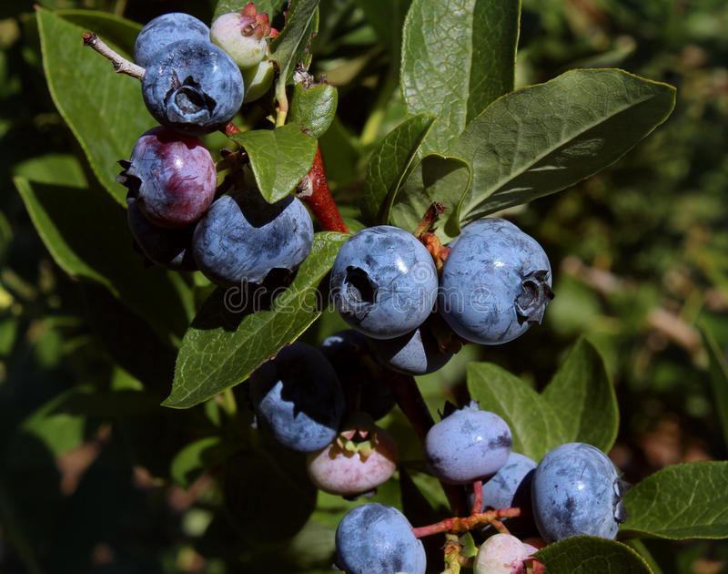 Blueberry Plant. Growing naturally as a symbol of healthy eating concept as a blue berry nature icon of a health focused lifestyle with fresh organic berry stock images