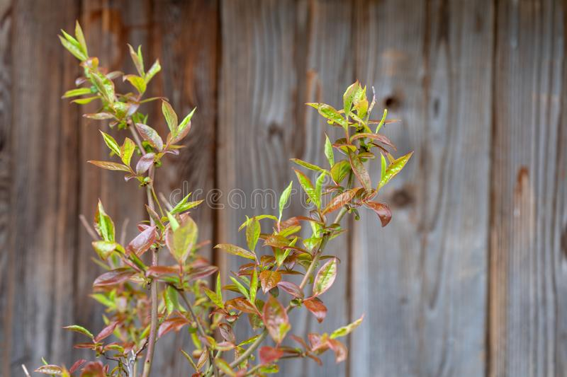 Blueberry stems showing leaves but no blueberries or fruit. Not yet blossoming, since this is a young plant, still growing stock image
