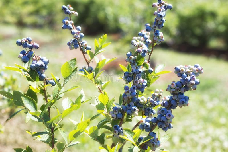 Blueberry plants with ripening berries stock photos