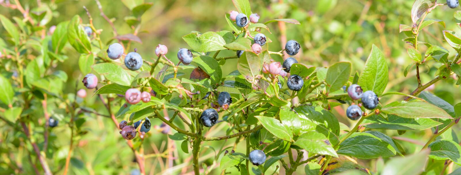 Blueberries growing in green leaves stock photo