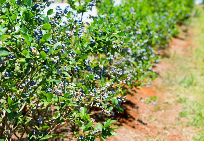 Blueberry row on the farm royalty free stock images