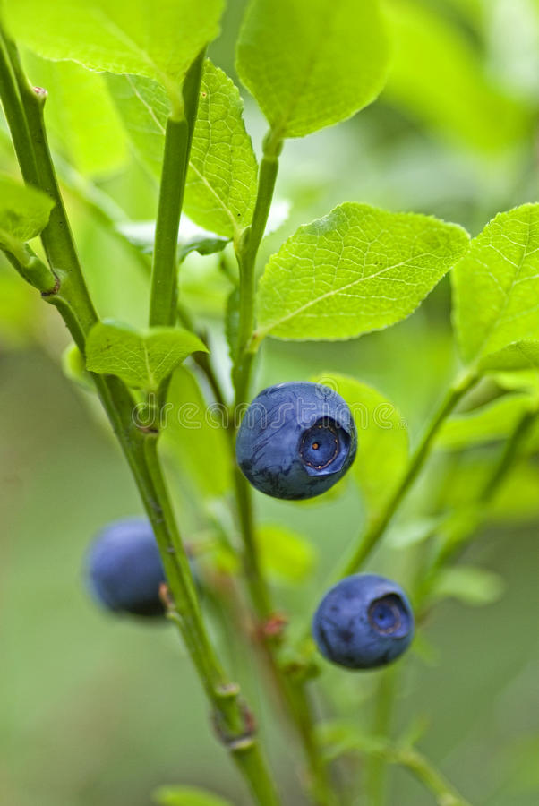Blueberry sprig royalty free stock photo