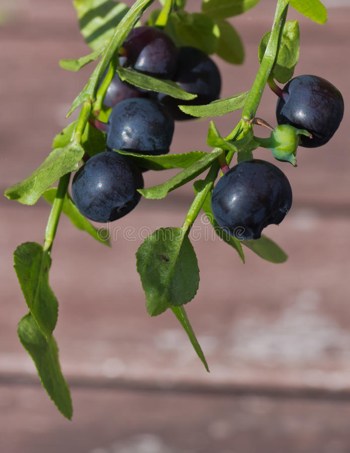 Blueberry sprigs stock image