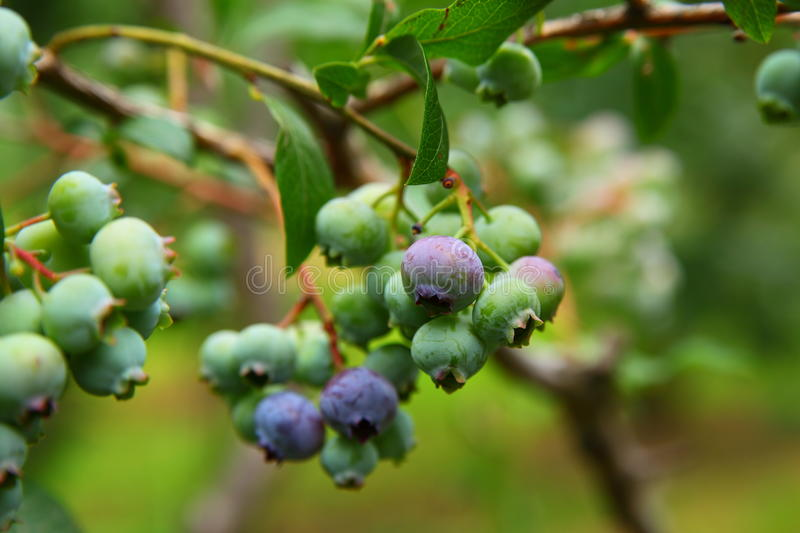 blueberry tree stock image. image of food, fresh, green - 23435067