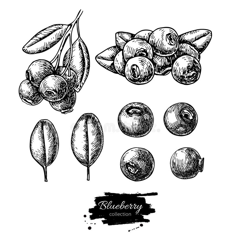 Blueberry vector drawing set. Isolated hand drawn berry, heap, b. Ranch and leaf on white background. Summer fruit engraved style illustration. Detailed stock illustration