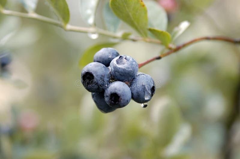 Blueberrys photo stock