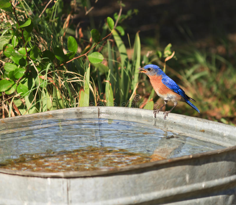 Bluebird. A bluebird getting water from a metal tub royalty free stock image