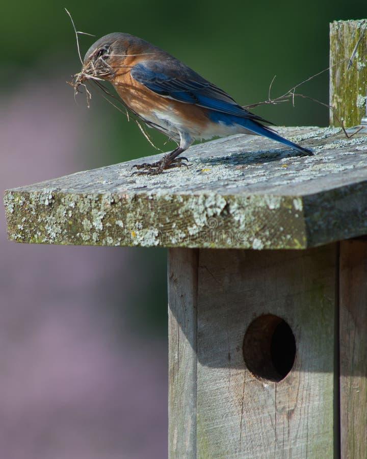 Download Bluebird stock image. Image of home, birdhouse, moss - 23923547
