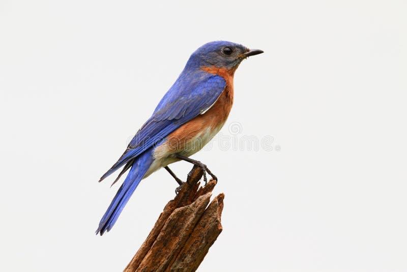 Bluebird aislado en un tocón imagenes de archivo