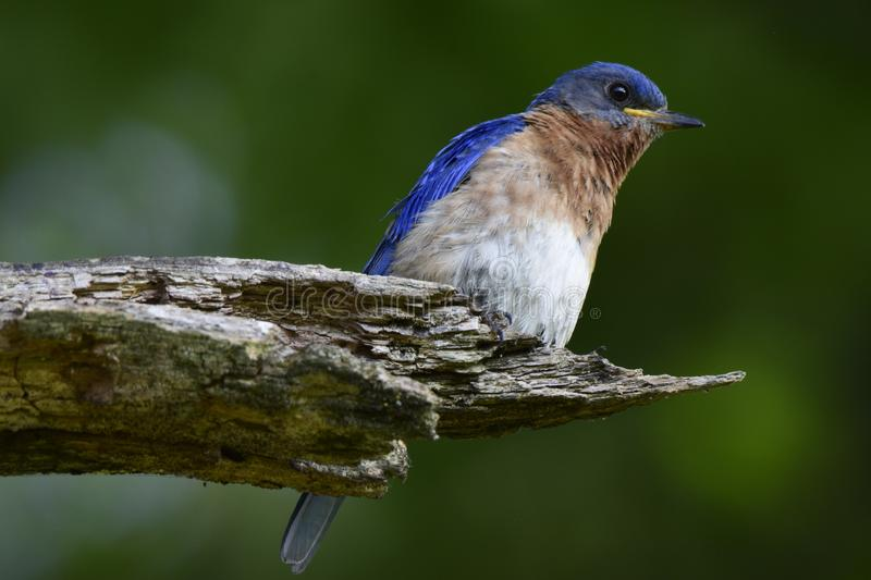 Bluebird royalty free stock image