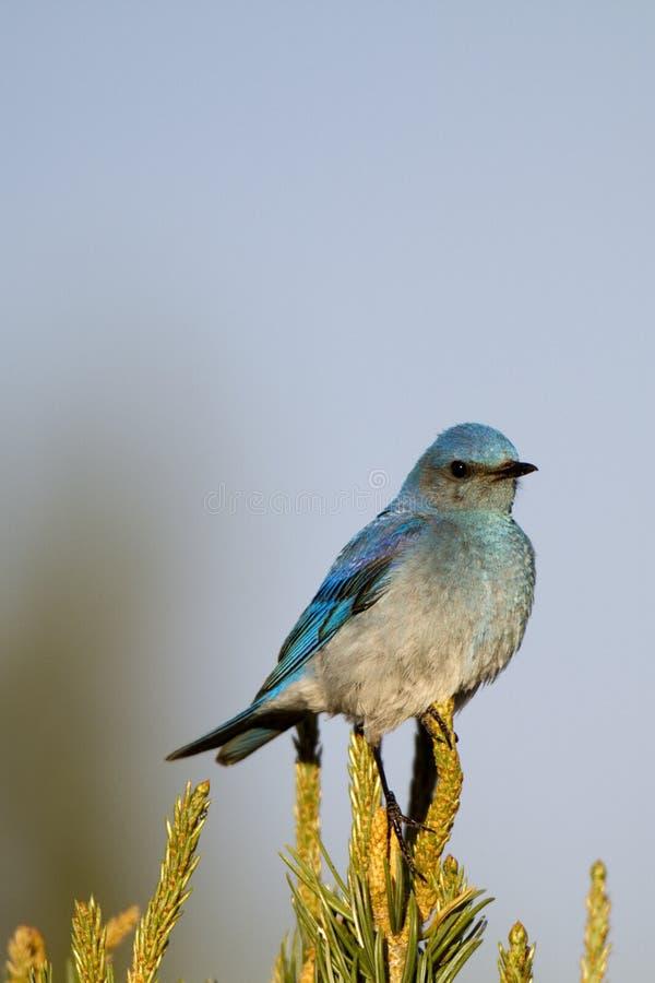 Bluebird da montanha, currucoides do Sialia imagem de stock