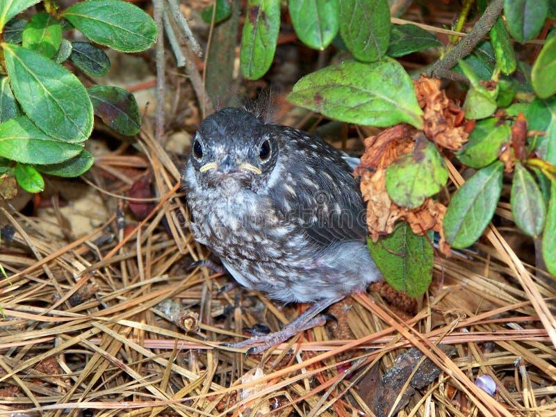 Bluebird del bambino fotografia stock