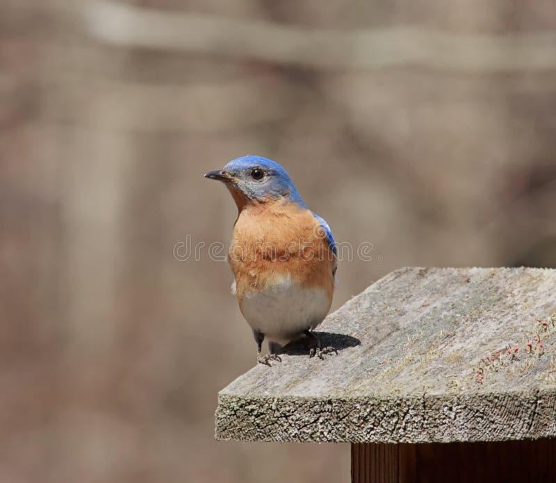 Bluebird del este imágenes de archivo libres de regalías