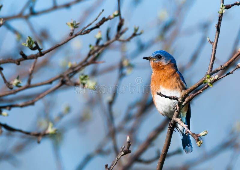 Bluebird del este fotos de archivo